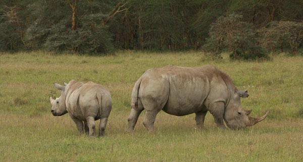 Deux rhinocéros blancs