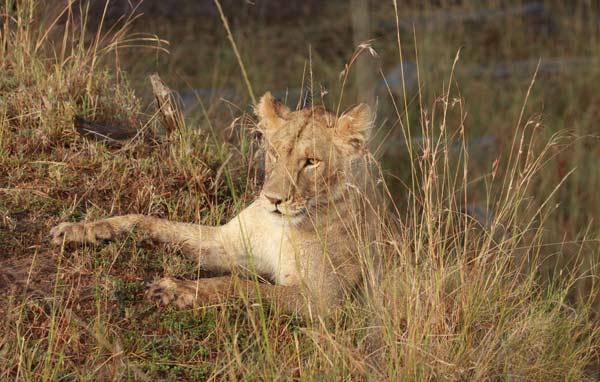 Échec de la lionne lors de la grande migration