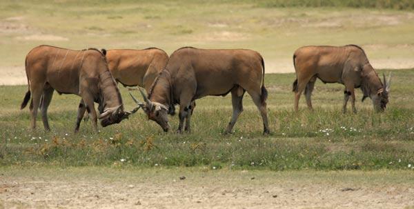 elands-cap-ngorongoro