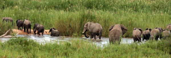 Éléphants traversant la rivière