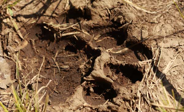 Empreinte de léopard dans le parc Kruger
