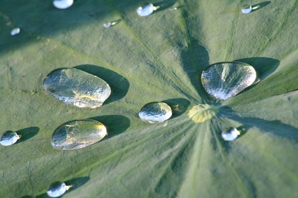 Feuille de lotus lac Chini