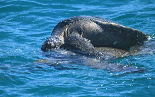 Galapagos : accouplement de tortues