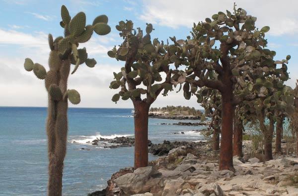 Galapagos : les cactus géants de Santa Fé