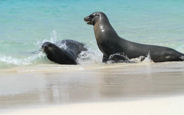 Galapagos : jeux de lions de mer à Santa Fé