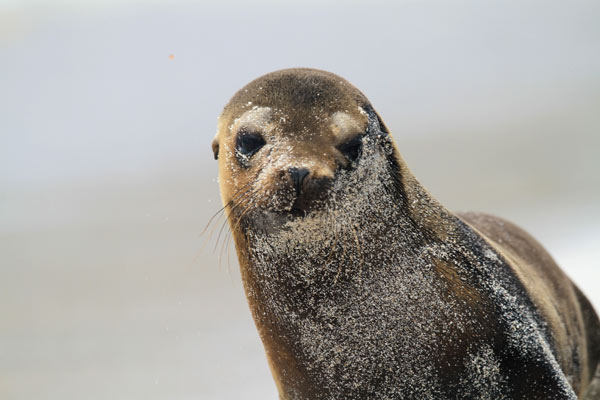 Galapagos, lion de mer