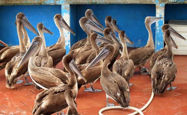 Pélicans frémissant d'impatience aux Galapagos