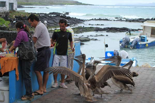 Galapagos, les pélicans veulent du poisson !