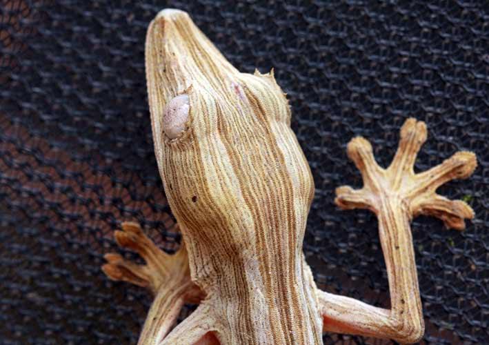 Gecko nocturne