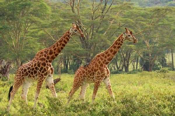 Girafes, agence de voyages safari