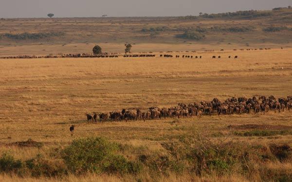 Grande migration des gnous au kenya