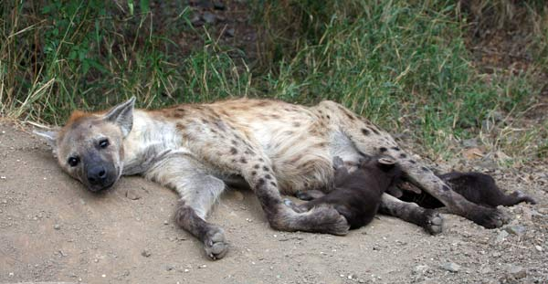 Hyène allaitant ses petits