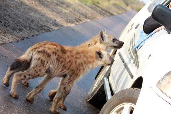 Hyènes opportunistes