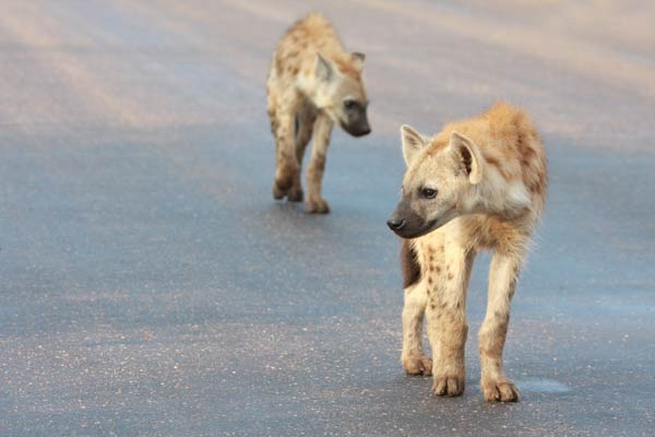 Hyènes sur la route dans le Kruger Park