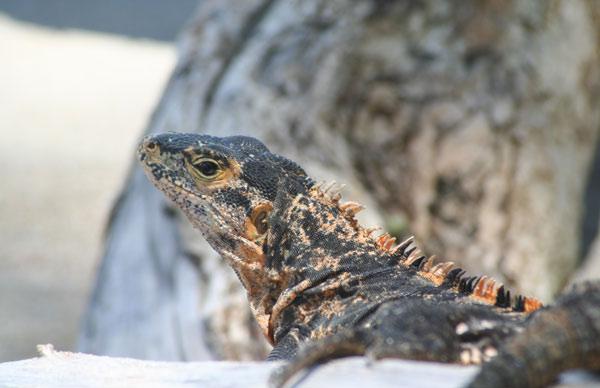 Iguane au parc de Manuel Antonio