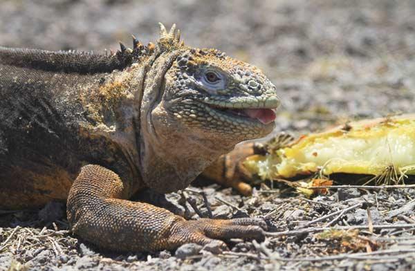 Iguane terrestre des îles Plazas aux Galapagos