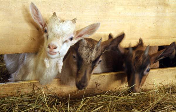 Jeunes cabris de la ferme Marchal