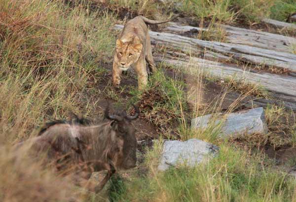 lionne chassant grande migration