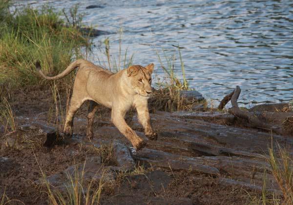 Lionne en course lors de la grande migration
