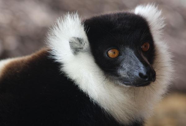 Lémurien sur l'île aux Nattes