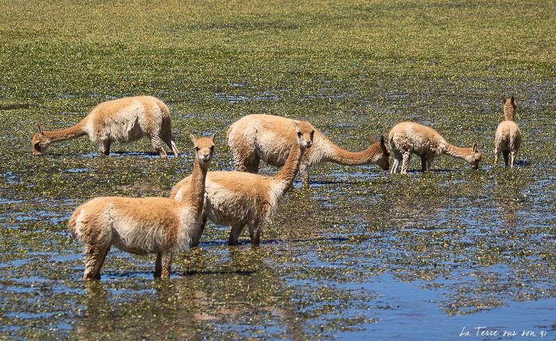 troupeau vigognes bofedal de putana