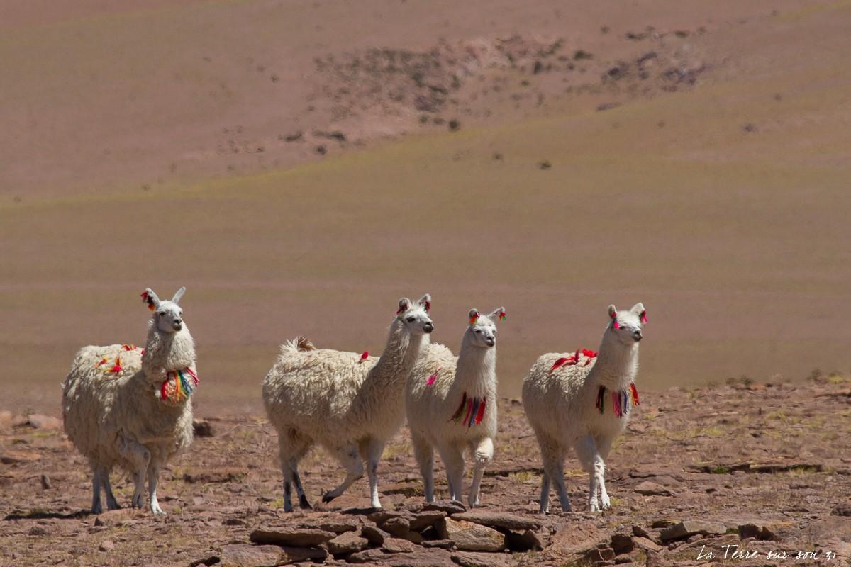 faune désert atacama salar huasco