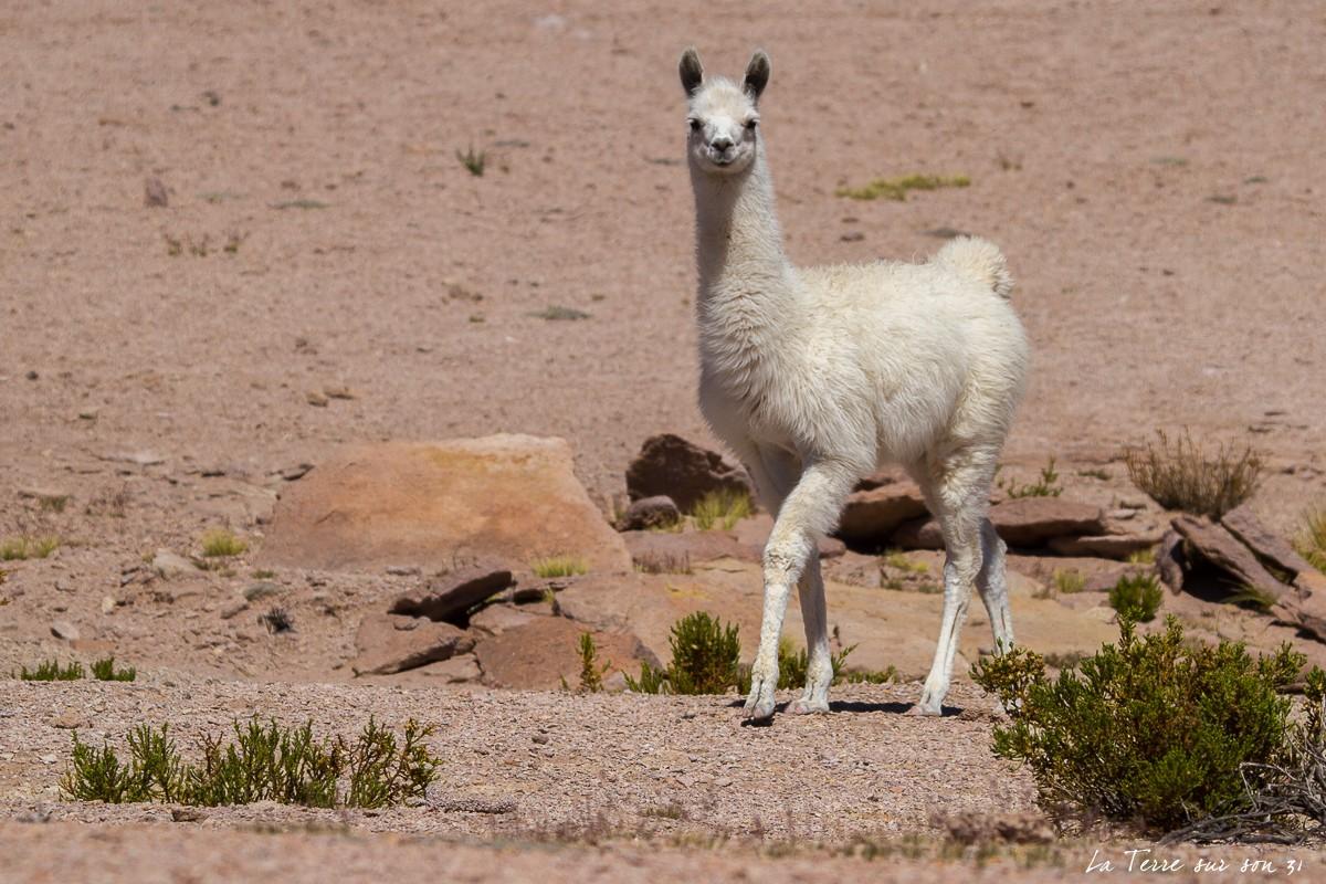 jeune lama salar de huasco chili