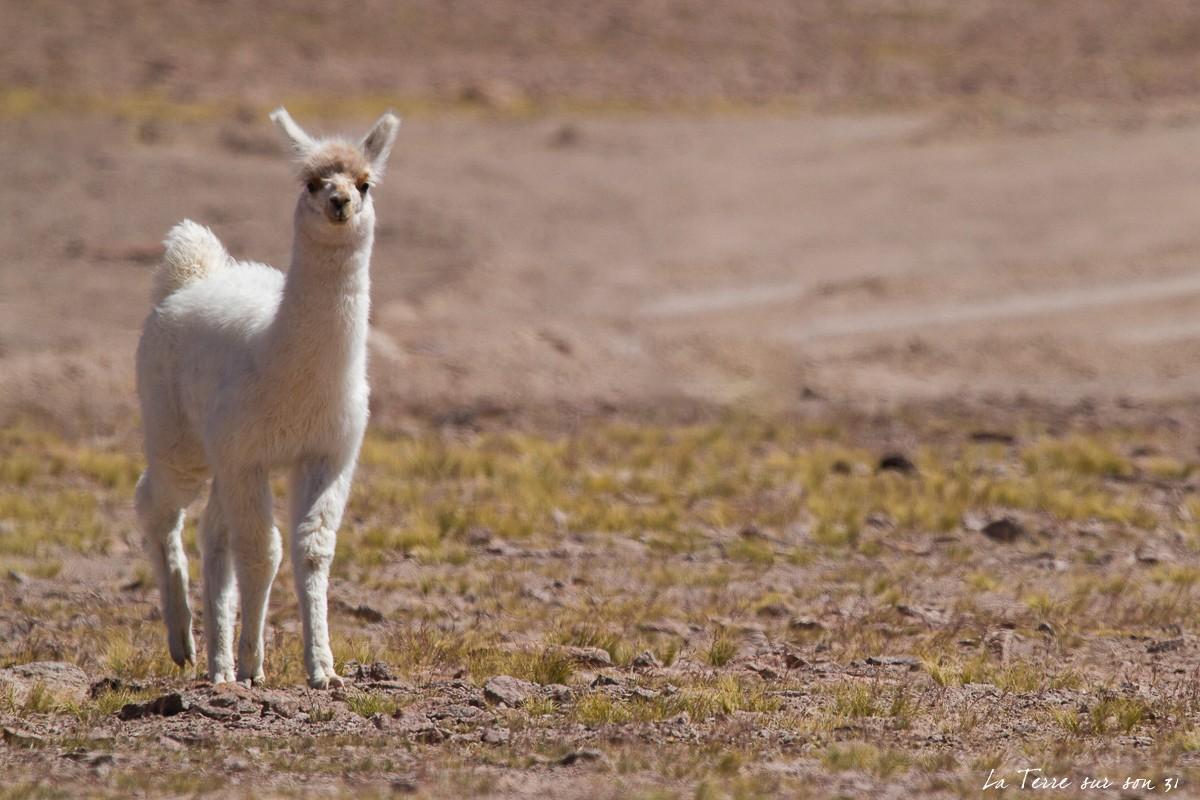 salar huasco chili jeune lama