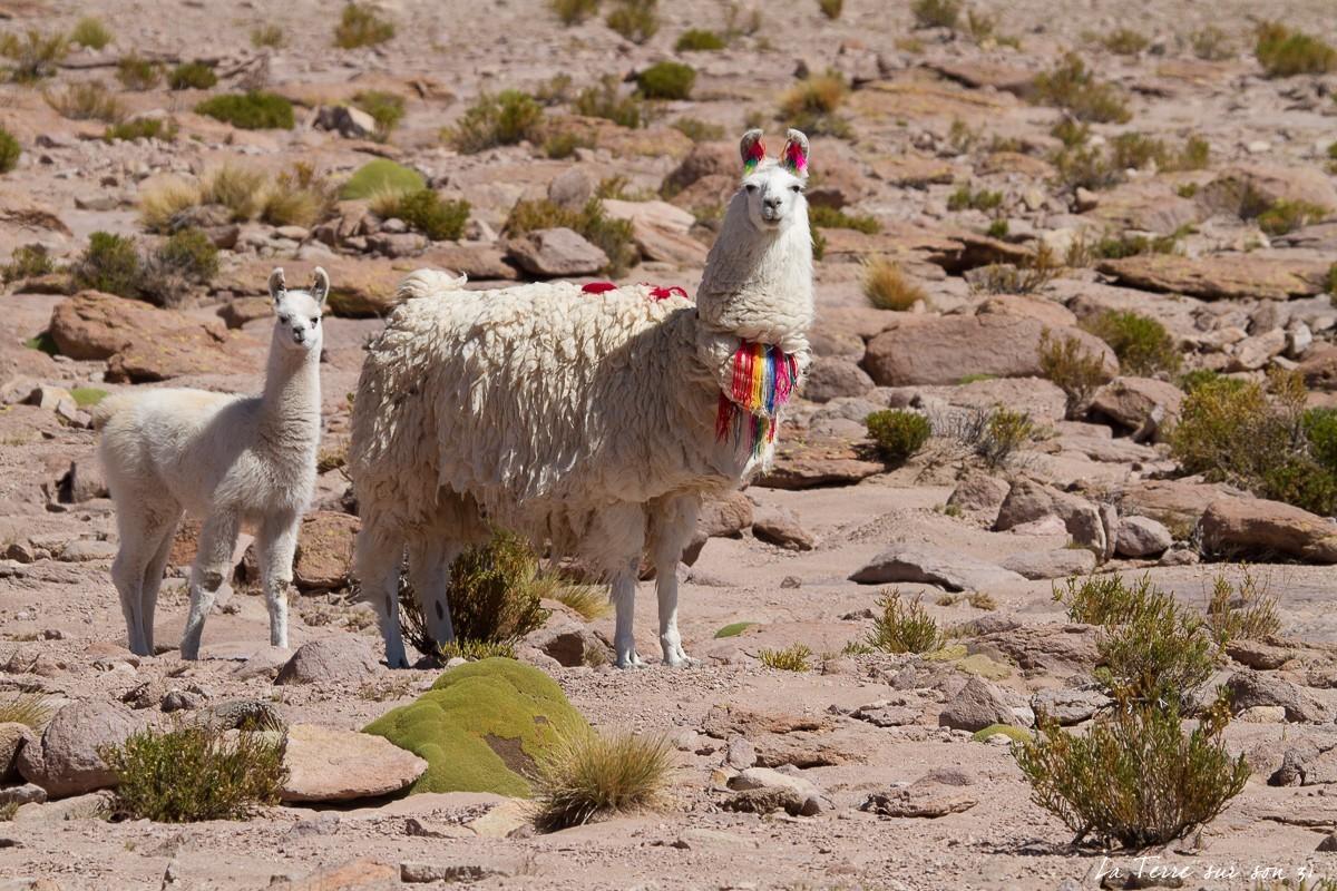 salar huasco lamas