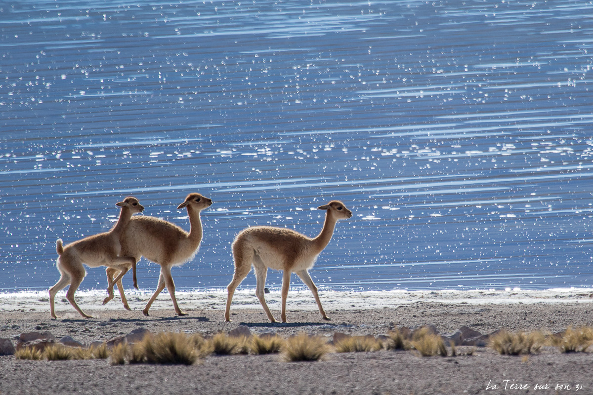 désert d'atacama, faune