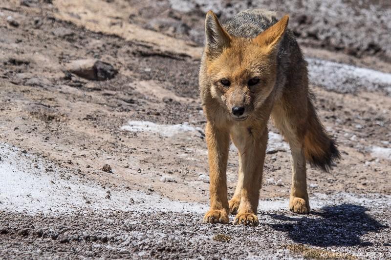 faune atacama zorro