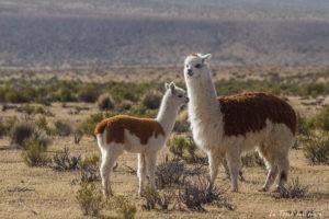 lamas faune chili