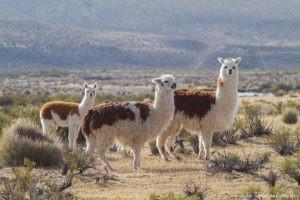 lamas réserve las vicunas