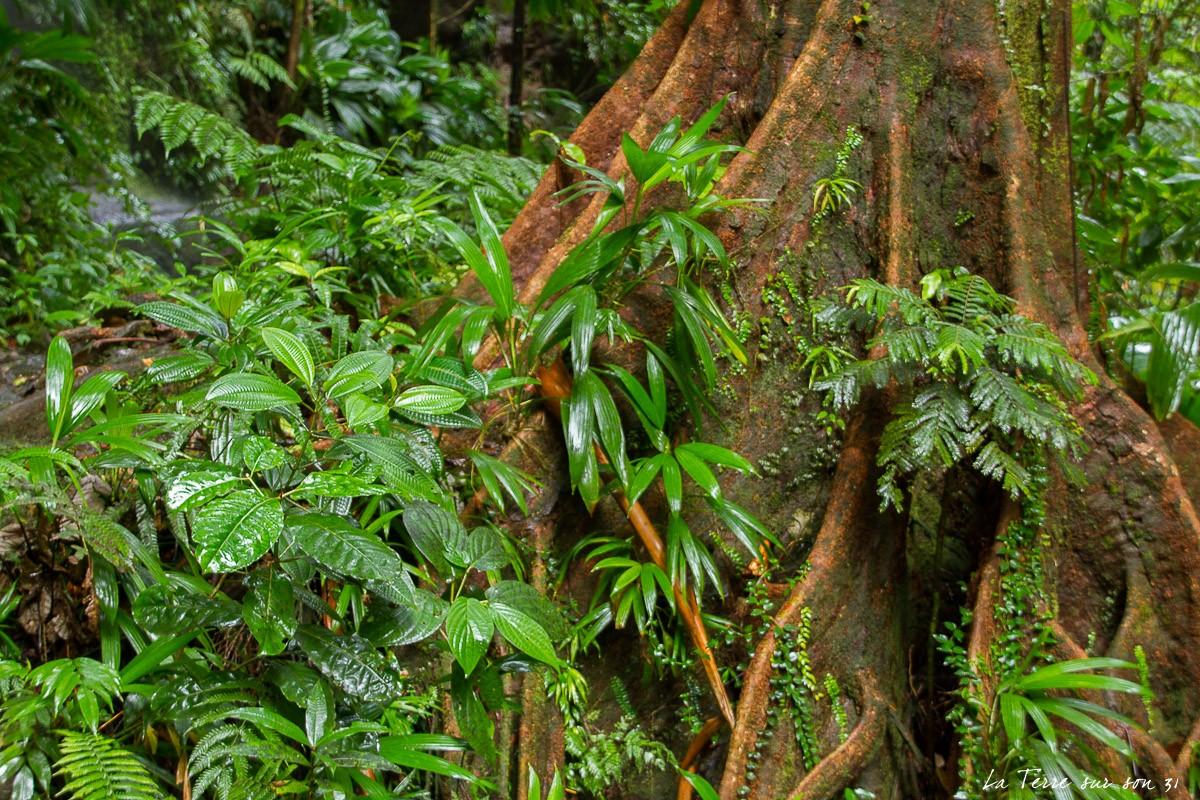 arbre racine guadeloupe