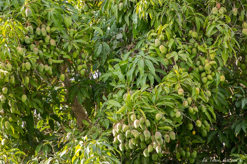 manguiers de l'oasis de Pica