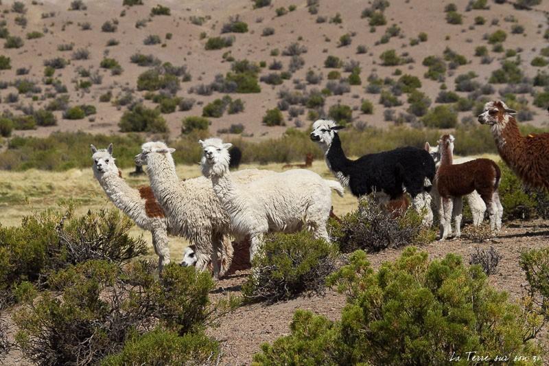 le désert d'Atacama, alpagas parc isluga