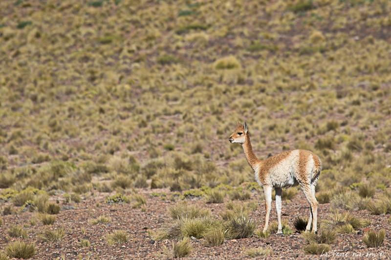 vigogne désert d'atacama chili
