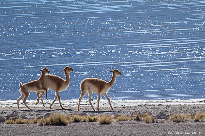 vigognes lagune miscanti