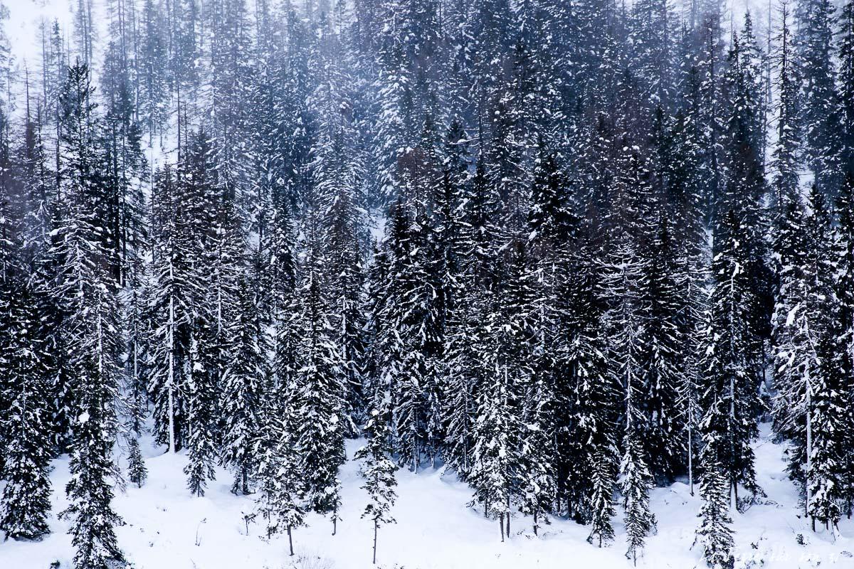 forêt sapins dolomites hiver