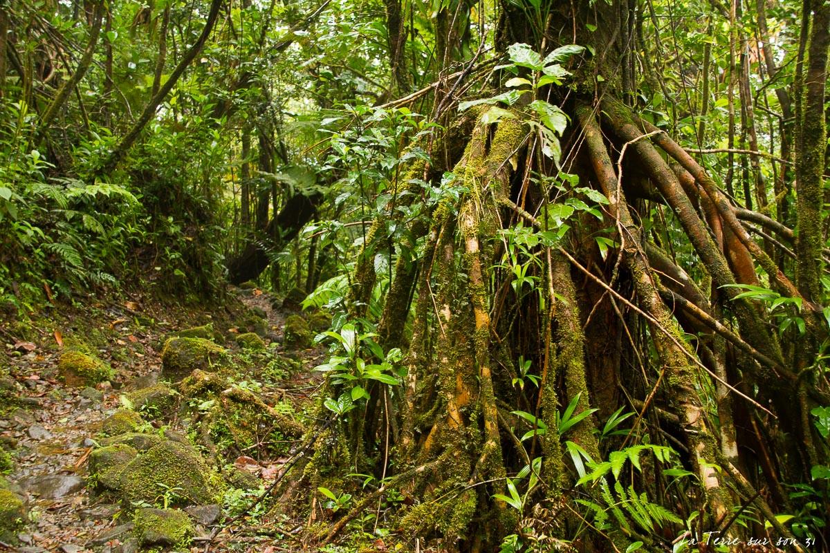 arbre forêt soufrière guadeloupe