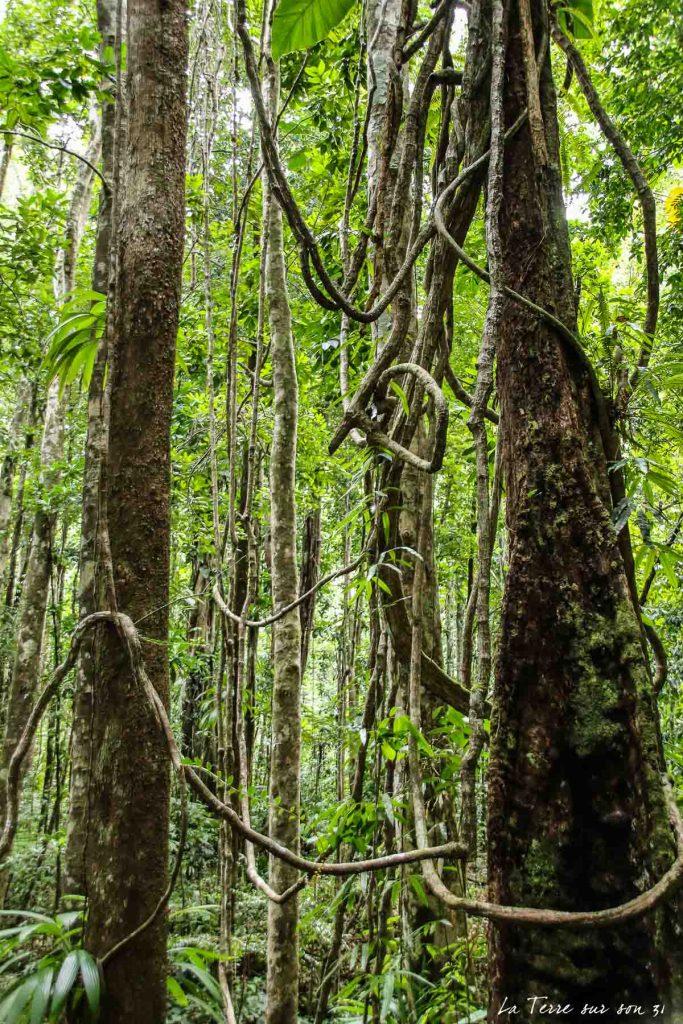 arbres forêt guadeloupe