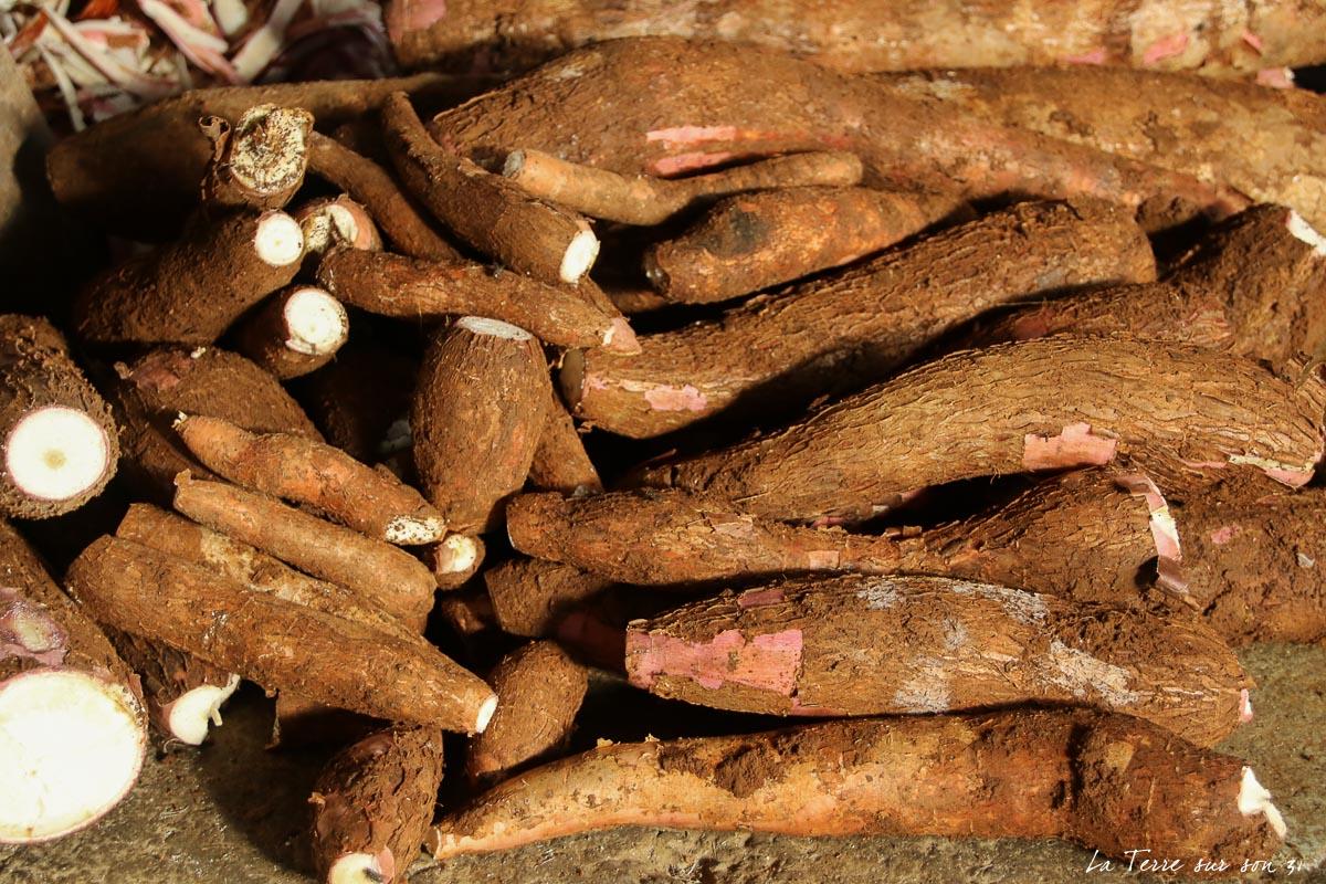 racines de manioc cassaverie guadeloupe