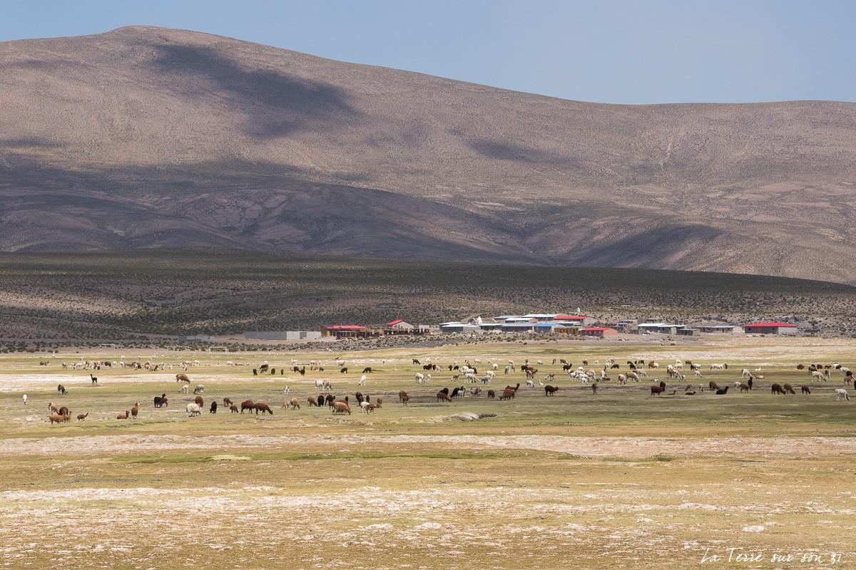 troupeau d'animaux parc volcan isluga