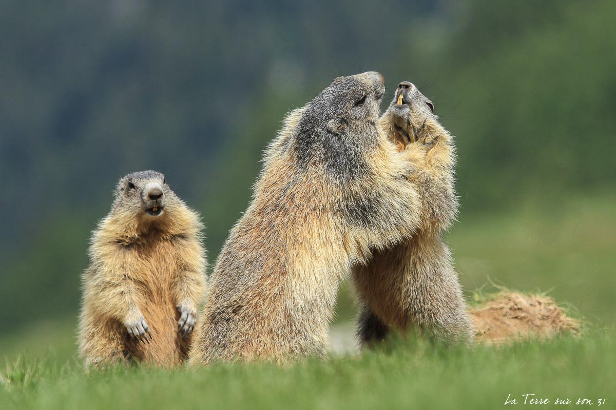 marmottes mercantour juillet