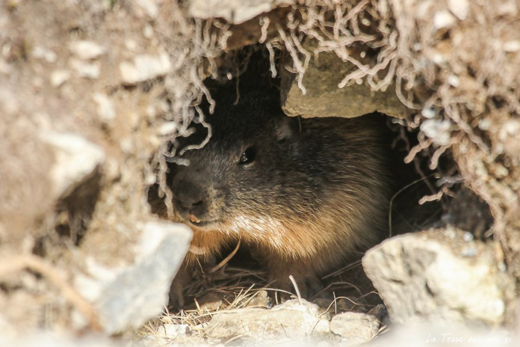 terrier marmotte mercantour