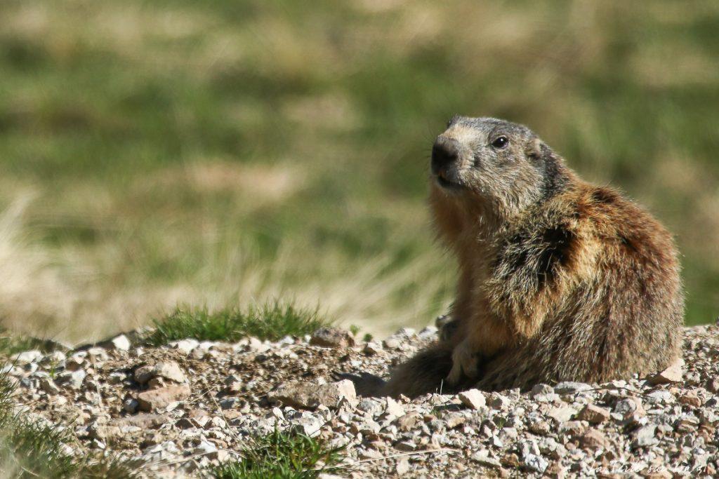 voir marmotte lacs de prals