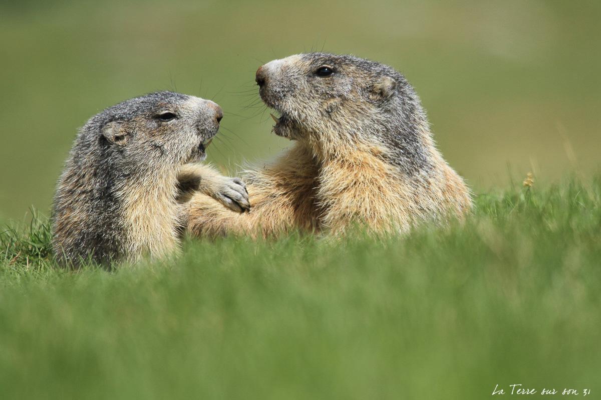 voir marmottes mercantour été