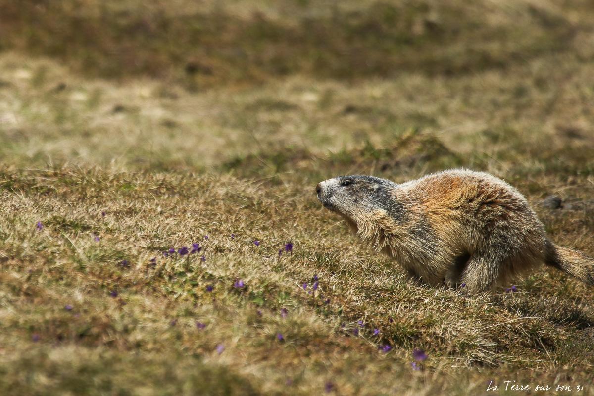 voir marmottes mercantour