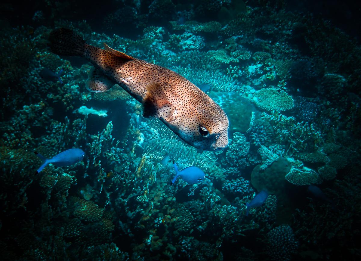 poisson coffre guadeloupe