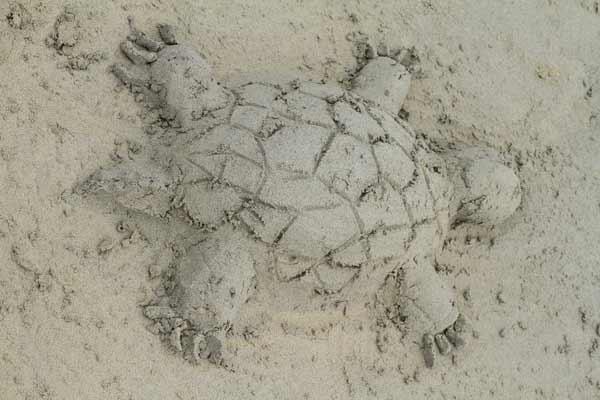 tortue de sable